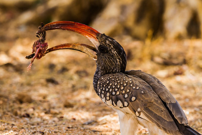 Monteiro's Hornbill (Monteirose neushoringvoël)
