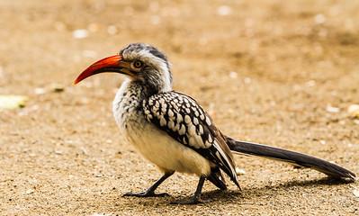 Southern Red-billed Hornbill (Rooibekneushoringvoël)