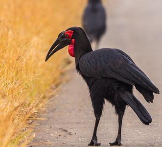 Southern Ground-Hornbill (Bromvoël)