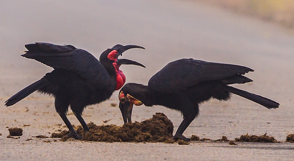 Southern Ground-Hornbill (M, Imm) (Bromvoël)
