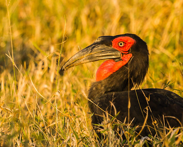 Southern Ground-Hornbill (F) (Bromvoël)