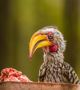 Southern Yellow-billed Hornbill (Geelbekneushoringvoël)