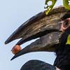 Trumpeter Hornbill (M) (Gewone boskraai)