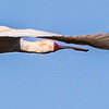 African Spoonbill (Lepelaar)