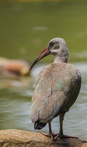 Hadeda Ibis (Hadeda)