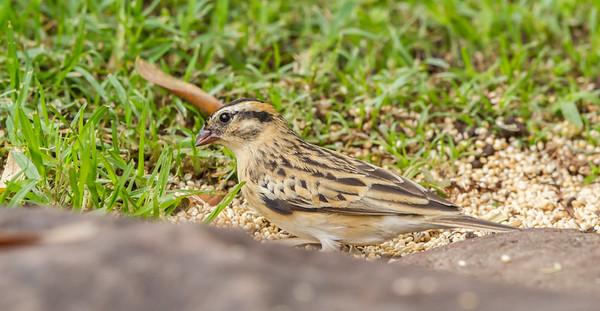 Pin-tailed Whydah (F) (Koningrooibekkie)