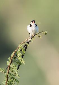 Pin-tailed Whydah (M) (Koningrooibekkie)