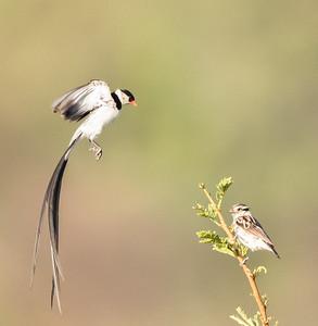 Pin-tailed Whydah (M, F) (Koningrooibekkie)