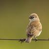 Pin-tailed Whydah (Imm) (Koningrooibekkie)