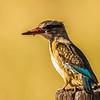 Brown-hooded Kingfisher (F) (Bruinkopvisvanger)