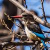 Brown-hooded Kingfisher (M) (Bruinkopvisvanger)