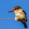 Brown-hooded Kingfisher (Bruinkopvisvanger)