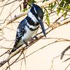 Pied Kingfisher (M) (Bontvisvanger)