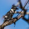 Pied Kingfisher (Bontvisvanger)