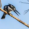 Pied Kingfisher (F) (Bontvisvanger)