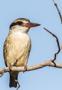 Striped Kingfisher (Gestreepte visvanger)