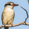 Striped Kingfisher (Gestreepte visvanger)
