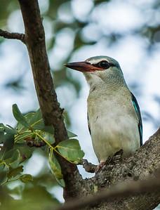 Woodland Kingfisher (Imm) (Bosveldvisvanger)