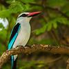 Woodland Kingfisher (Bosveldvisvanger)