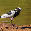 Blacksmith Lapwing (Front foot trembling) (Bontkiewiet)