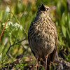 Cape Long-billed Lark (M) (Weskuslangbeklewerik)