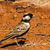 Grey-backed Sparrow-Lark (M) (Grysruglewerik)
