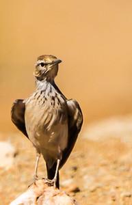 Karoo Long-billed Lark (Karoolangbeklewerik)