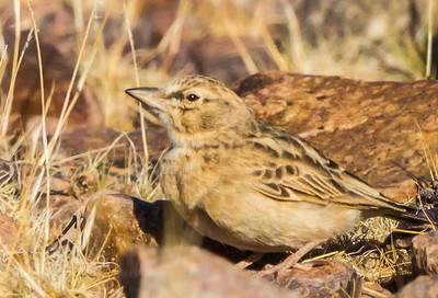 Sclater's Lark