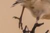 Short-clawed Lark (Kortkloulewerik)