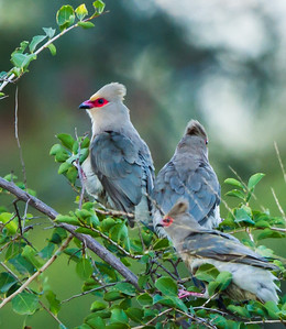 Red-Faced Mousebird (Rooiwangmuisvoël)
