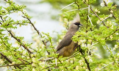 Speckled Mousebird (Gevlekte muisvoël)
