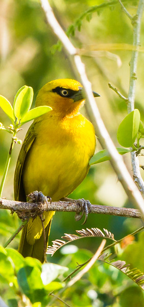 African Golden Oriole
