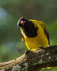 Black-headed Oriole (Swartkopwielewaal)