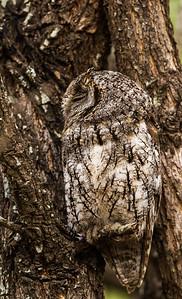 African Scops Owl (Skopsuil)