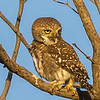 Pearl-spotted Owlet (Witkoluil)