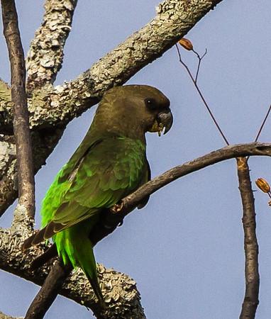 Brown-headed Parrot (Bruinkoppapegaai)