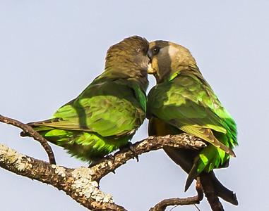 Brown-headed Parrot (M, F) (Bruinkoppapegaai)