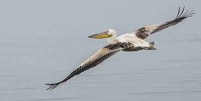 Great White Pelican (Imm) (Witpelikaan)