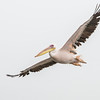 Great White Pelican (Witpelikaan)