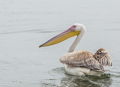 Great White Pelican (Witpelikaan)