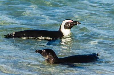 African Penguin (Ad, Imm) (Brilpikkewyn)