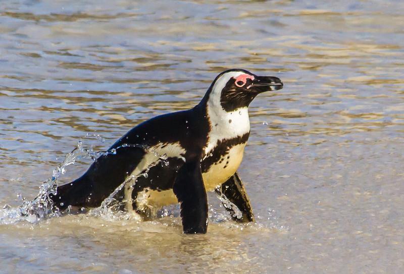 African Penguin (Brilpikkewyn)