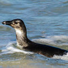 African Penguin (Imm) (Brilpikkewyn)