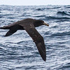 Northern Giant Petrel (Grootnellie)
