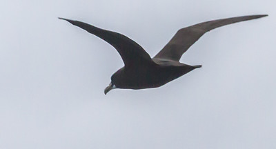 White-chinned Petrel (Bassiaan)