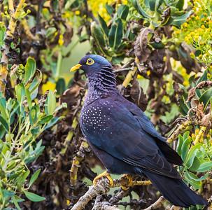 African Olive-Pigeon (Geelbekbosduif)