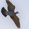 Speckled Pigeon (Kransduif)