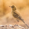 Buffy Pipit (Vaalkoester)