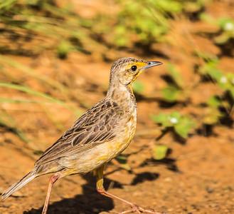 Cape Longclaw (Oranjekeelkalkoentjie)