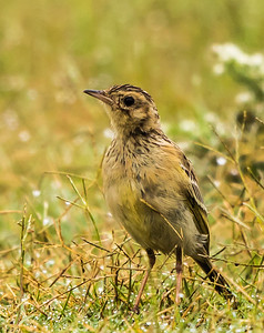 Yellow-breasted Pipit (Geelborskoester)